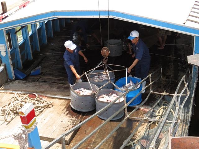 Giá cá tra thương phẩm tăng trở lại