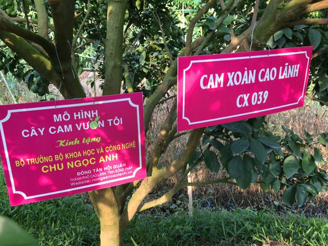 TP.Cao Lãnh Phát triển diện tích trồng cam xoàn